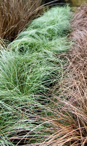 Gordons Nurseries - Grasses